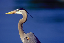 Picture of a heron