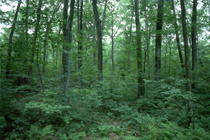 Picture of tress in a forest