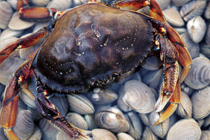 Picture of a blue crab
